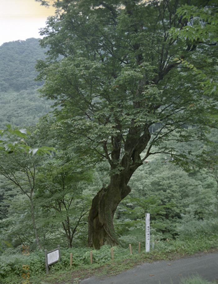 脇谷のトチノキの画像