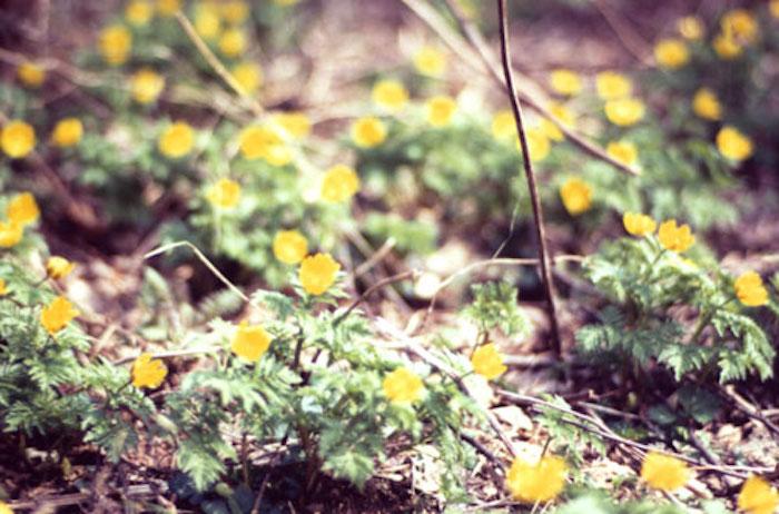 梆谷の天然福寿草自生地の画像