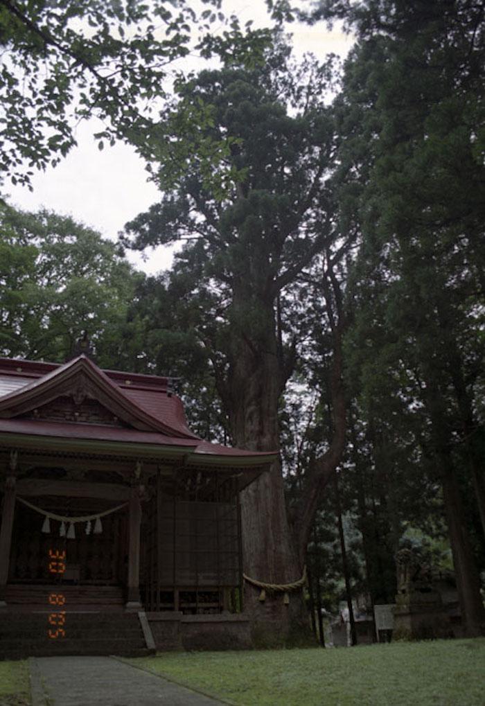 坂上の大杉の画像