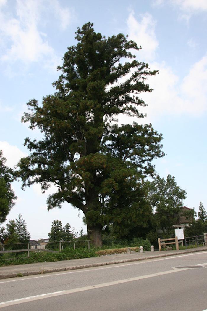 諏訪川原及び大杉の画像