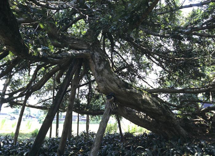 ツナギガヤの木の画像