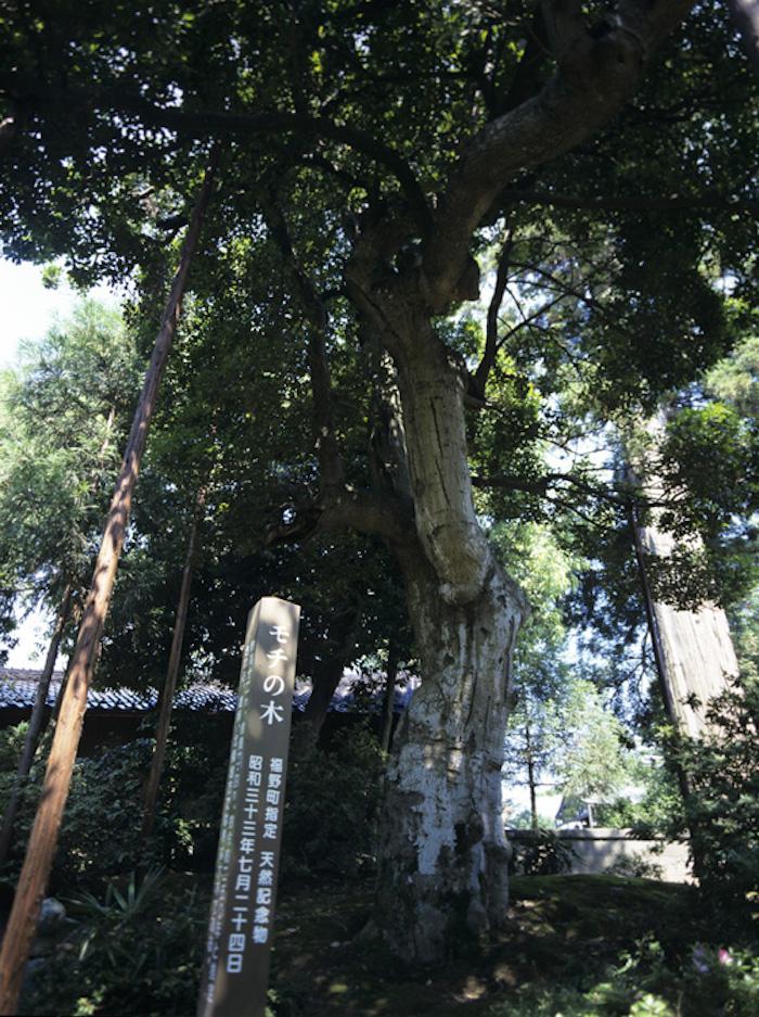 モチの木の画像