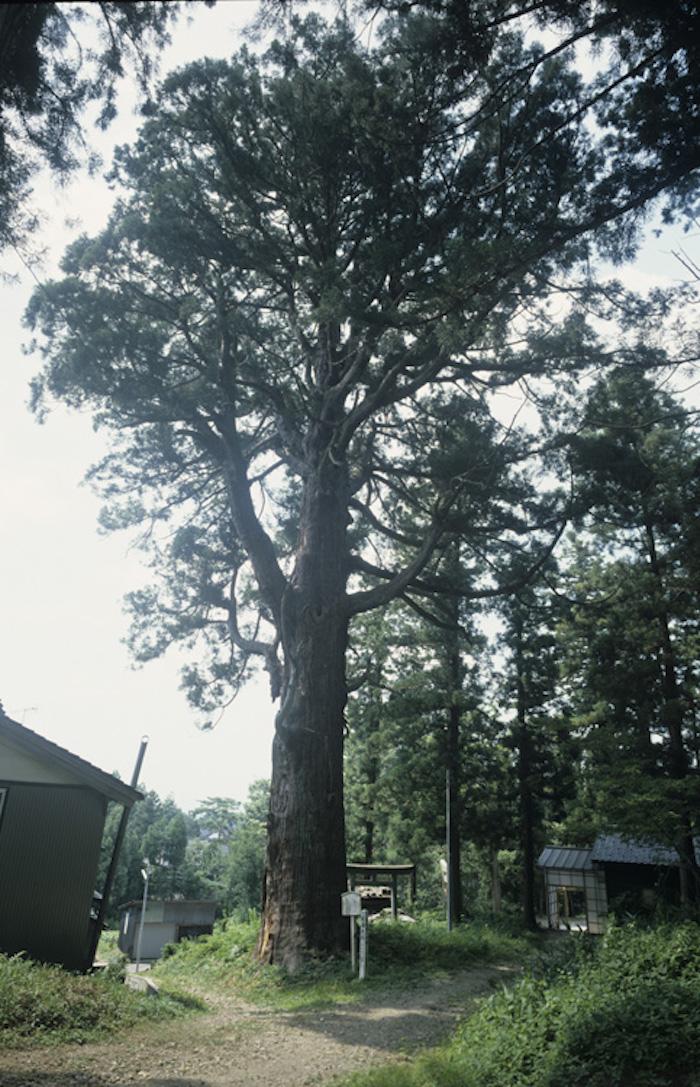 松島大杉の画像