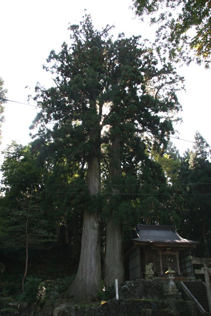 東赤尾の夫婦杉の画像