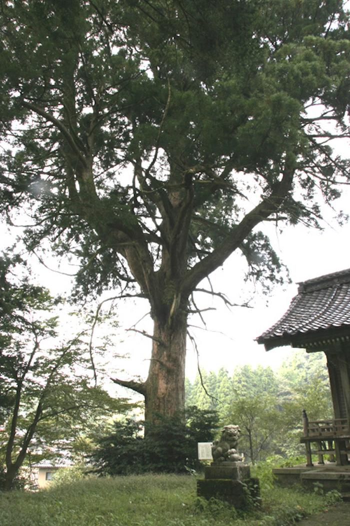 砂子谷の大杉の画像