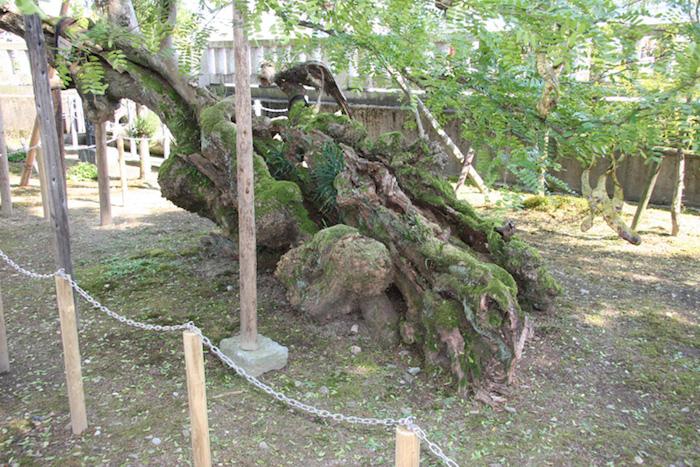 飛騨屋の皀(サイカチ)の画像