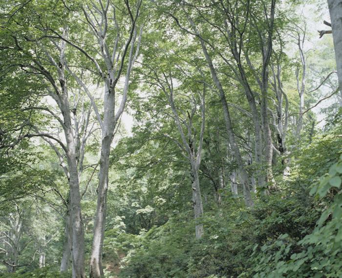 大滝山ブナ原生林の画像