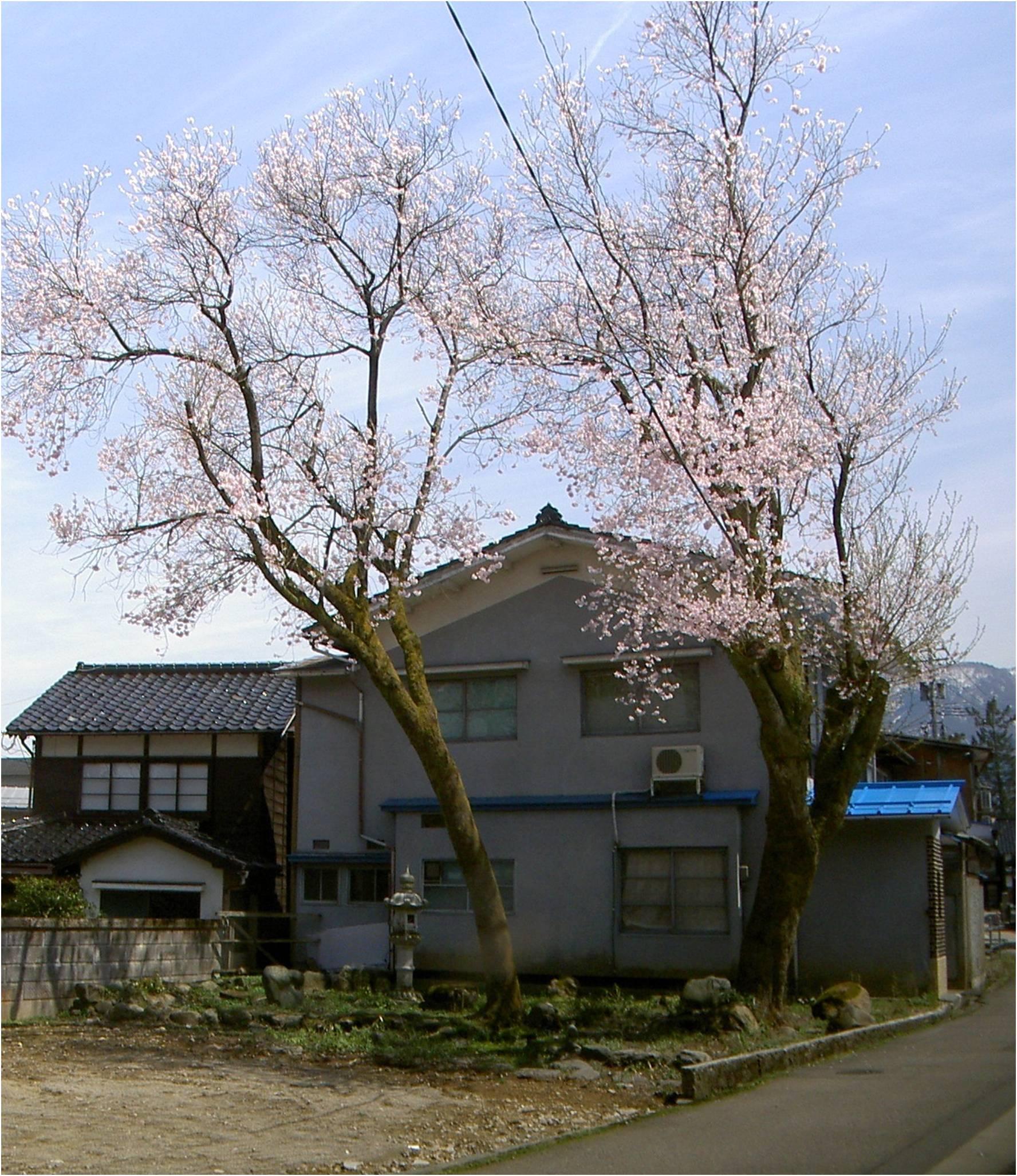 城端野下のコシノヒガンザクラ(越村型原木)の画像